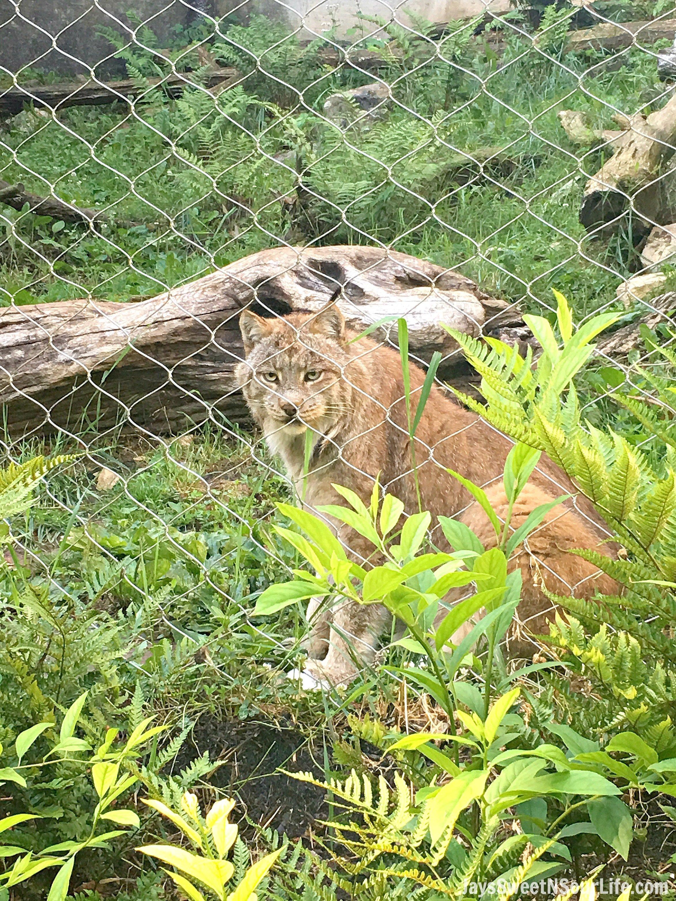 Going Wild Feeding Mountain Lions at ZooAmerica – Early Bird Tour