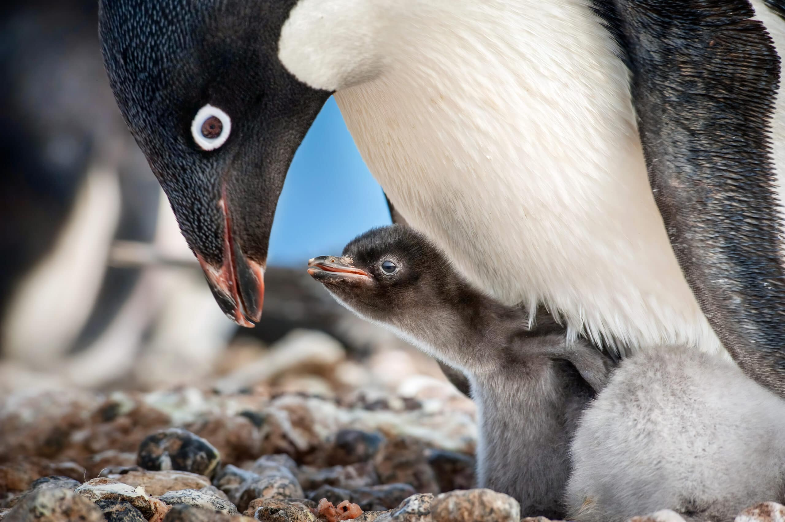 "Disneynature ""Penguins"". Disneynature's all-new feature film ""Penguins"" is a coming-of-age story about an Adélie penguin named Steve who joins millions of fellow males in the icy Antarctic spring on a quest to build a suitable nest, find a life partner and start a family."