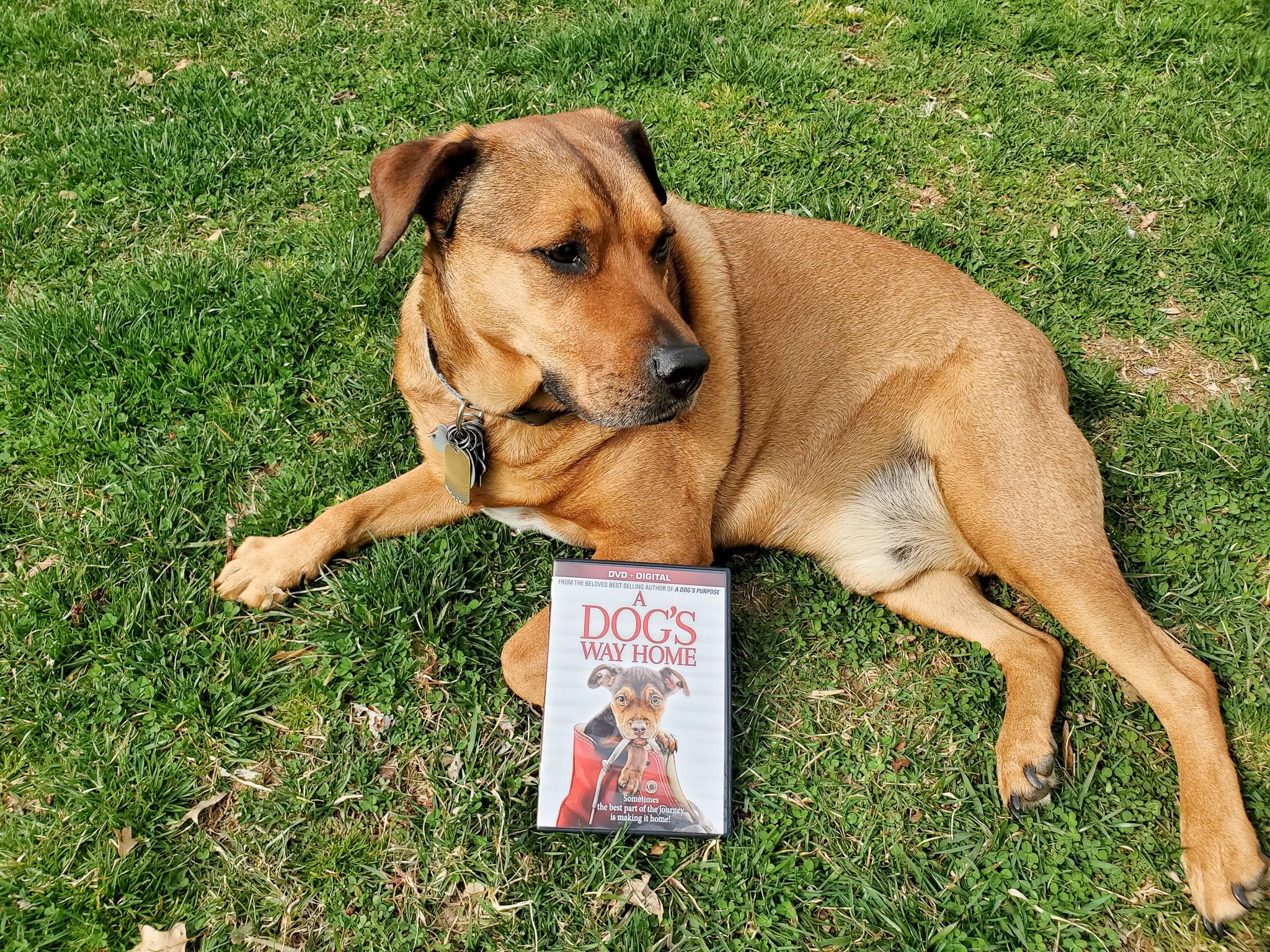 A Dogs Way Home DVD Release Beau. A Dog's Way Home Film is now available on DVD and Digital everywhere. This touching film shares Bella's heartwarming adventure as she embarks on an epic 400-mile journey back home.